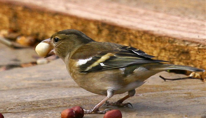 photoblog image Chaffinch - Fringila coelebs (female)